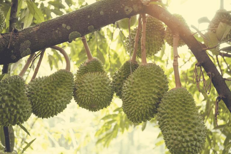 Cara Menanam Durian Musang King dari Persiapan Sampai Berbuah