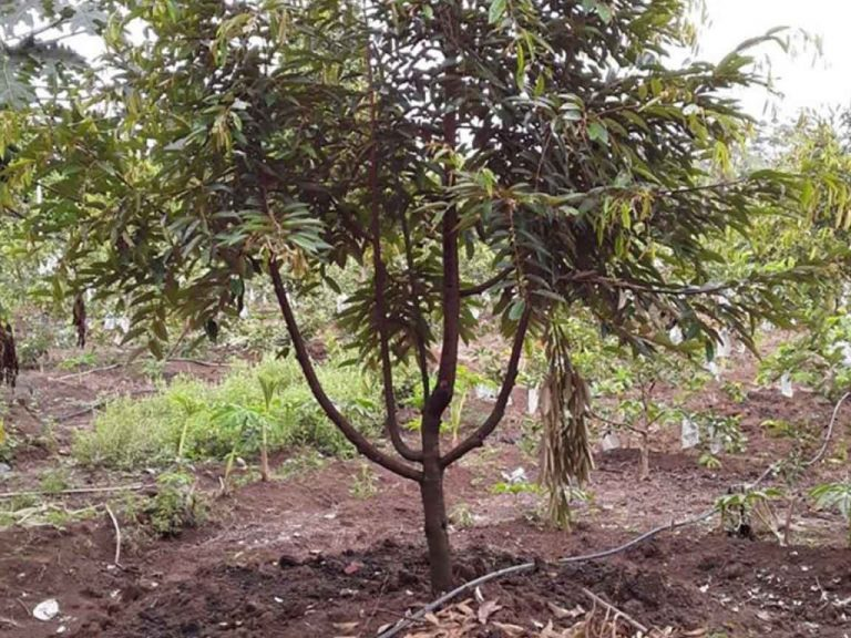 Cara Menanam Durian dengan Beberapa Opsi Mudahnya